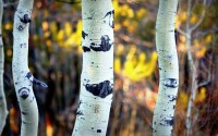 colorado-aspen-trees